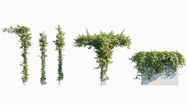 现代绿植縢蔓 地锦