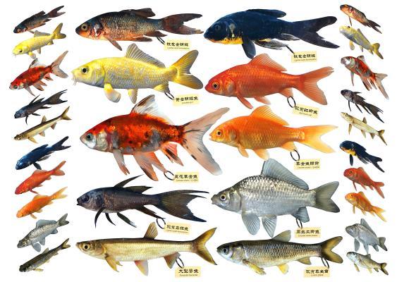 现代草金鱼锦鲫标本