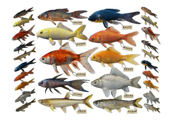 现代鱼类 鲤鱼 锦鲤