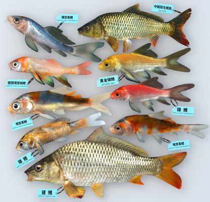 现代鲤鱼 锦鲤 观赏鱼