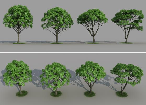 现代香樟树 小叶樟 景观树